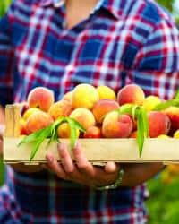 man harvests ripe peaches