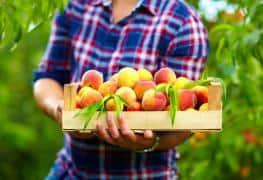 man harvests ripe peaches